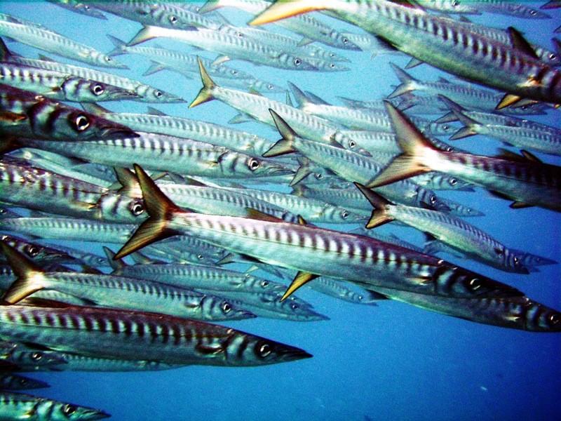 Calpe barracudas
