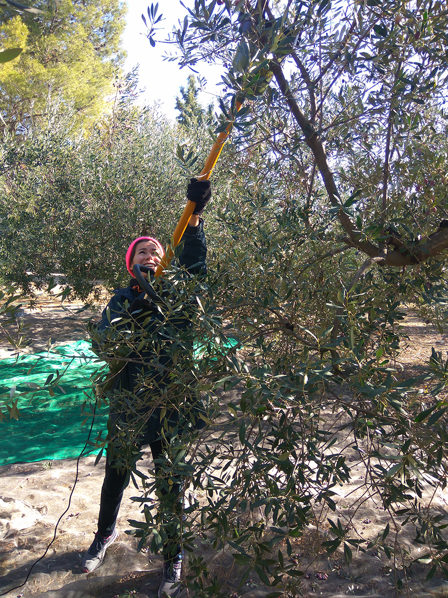 picking olives in Spain